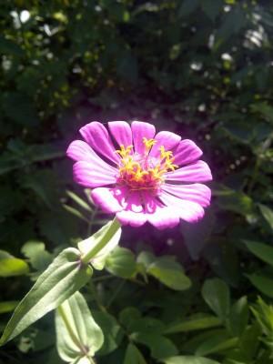 Une fleur de Tougué